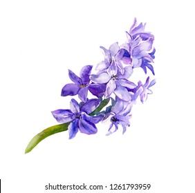 Violet flowering hyacinth. Watercolor flower