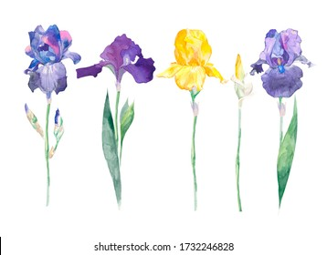 Violet and yellow Irises xiphium on white background. Bulbous purple iris vintage botanical watercolor illustration. Aquarelle wild floral design for natural cosmetics, perfume, women products.