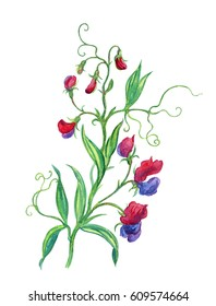 Violet-red sweet peas, watercolor illustration on a white background.