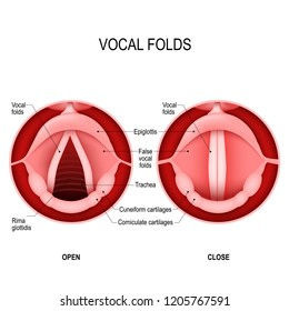 Vocal folds. The Human Voice. The vocal cords open to let air pass through the larynx, into the trachea. The vocal folds are open when we breath in and closed when we want to speak