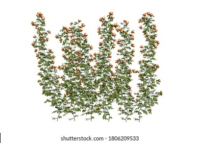 Wall of roses - orange roses climbing the wall - isolated on white background - 3d render