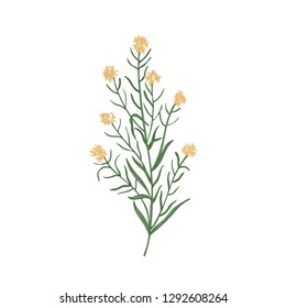 Wallflower isolated on white background. Realistic botanical drawing of beautiful tender flower, flowering herb or herbaceous perennial plant. Elegant hand drawn illustration in antique style.