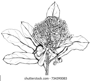 Waratah, dissected flower head, line art black pen drawing. Isolated