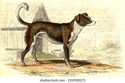 Watchdog, vintage engraved illustration. From Buffon Complete Work.