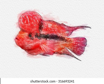 water color of Flowerhorn Cichlid fish is on white paper