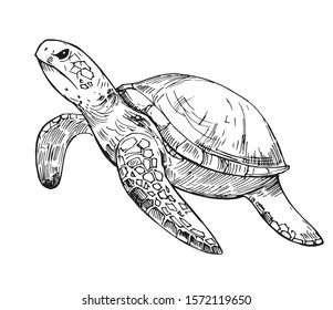 Water turtle sketch. Hand drawn illustration on white background