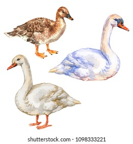 Waterbird collection set: duck, goose and swan birds isolated on white background watercolor illustration