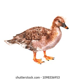 Waterbird Duck isolated on white background watercolor illustration