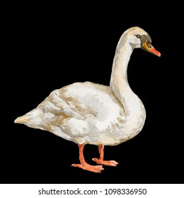 Waterbird Goose isolated on black background watercolor illustration