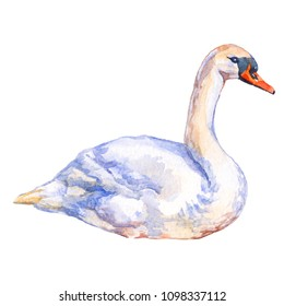Waterbird White swan isolated on white background watercolor illustration