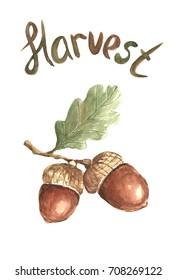 Watercolor acorn.