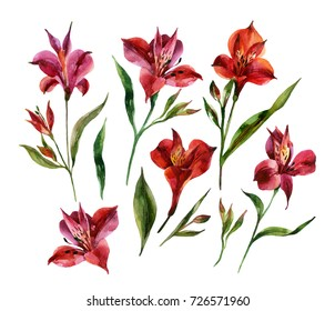 Watercolor Alstroemeria flowers set isolated on white background. Hand painted floral illustration