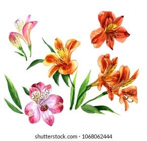 Watercolor Alstroemeria isolated on white background. Botanical illustration.