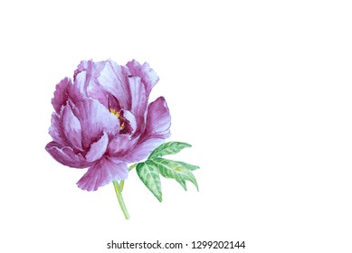 Watercolor amazing hand drawn peony isolated on white background