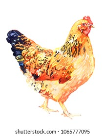 Watercolor animal chicken hen isolated on white background