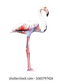 Watercolor animal flamingo isolated on white background