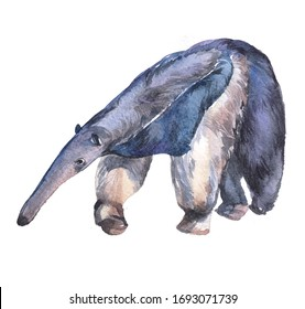 Watercolor ant-eater   animal on a white background illustration