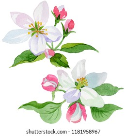 Watercolor apple blossom flower. Floral botanical flower. Isolated illustration element. Aquarelle wildflower for background, texture, wrapper pattern, frame or border.