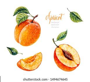 Watercolor Apricot. Botanical watercolor hand drawn illustration. Apricot. Watercolor fruits