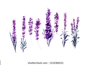 Watercolor or Aquarelle Paintings of Lavender. Set of Isolated Watercolour Lavandula or Hand Drawn Tea Herbs Flower. Summer Blossom or Foliage of Garden Plant in Aquarelle. Nature and Perfume.