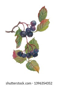 Watercolor aronia branches with leaves and berries. White background.