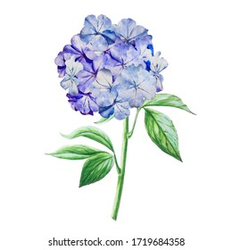 Watercolor arsrtistic blue hydrangea. Hand drawn floral illustration. Wedding, birthday, Valentine bouquet. For greeting cards, invitations, floral design, patterns and prints. Flower scape, in bloom.