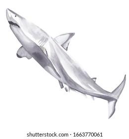 Watercolor australian animals clipart Hand painted hand drawn wild animal:  great white shark Dangerous animal realism semirealism Greeting card invitation baby shower Wild life exotic animal