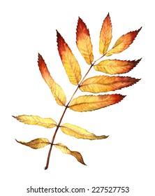 watercolor autumn ash leaf