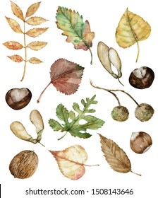 Watercolor autumn set of hand-drawn isolated hazel-nuts, chestnut, maple seeds, planetree seed pods, oak, birch, poplar, and ash leaves. Botanical illustration.