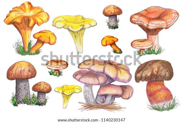 Watercolor autumn watercolo set of mushrooms. Isolated on white background. Orange-cap boletus, chanterelle mushroom,
