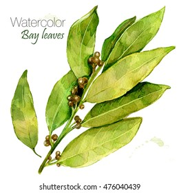 Watercolor bay leaf. Hand draw bay leaves illustration. Herbs object isolated on white background. Kitchen herbs and spices banner. Laureate .Sprig of laurel tree .Herbs set