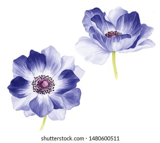 watercolor beautiful flower two anemone