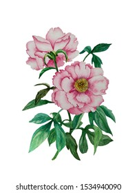 Watercolor with beautiful pink peony flowers. The illustration is handmade in Chinese style, isolated on white background.