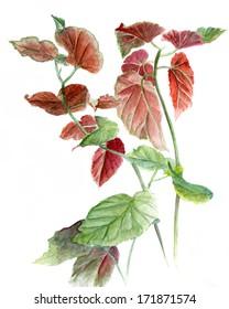 watercolor begonia