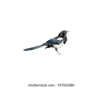 Watercolor Bird magpie Hand Painted Illustration Isolated on white background.Natural wildlife collection. Magpie