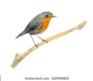 Watercolor bird Robin on isolated background. Element for the design of posters, wedding invitations, Christmas compositions. A bird sits on a branch