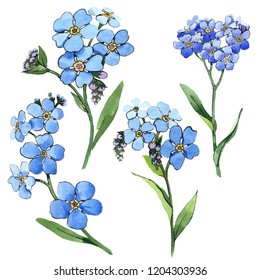 Watercolor blue forget-me-not flower. Floral botanical flower. Isolated illustration element. Aquarelle wildflower for background, texture, wrapper pattern, frame or border.