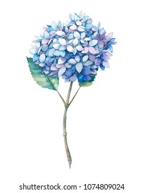 Watercolor blue hydrangea flower. Hand painted botanical illustration summer garden plant. Natural object isolated on white background