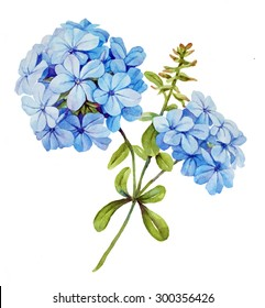 Watercolor with blue jasmine flower
