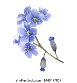 Watercolor blue little forget me not flowers. Blooming flower vintage isolated on a white background. Botanical elements for greeting and invatation card, poster, paper, textile, fabric