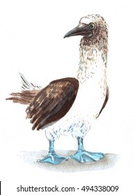 watercolor blue-footed boobies isolated
