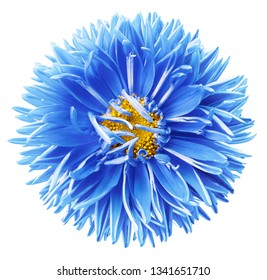 Watercolor blue-yellow aster flower isolated on white background with clipping path without shadows. close-up. Nature.