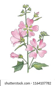 Watercolor botanical drawing of wild mallow