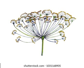 Watercolor botanical edible inflorescence of fennel in the form of an umbrella
