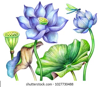 watercolor botanical illustration, blue lotos flowers, oriental garden nature, water lillies, green leaves, chinoiserie elements, lotus, tropical floral clip art isolated on white background