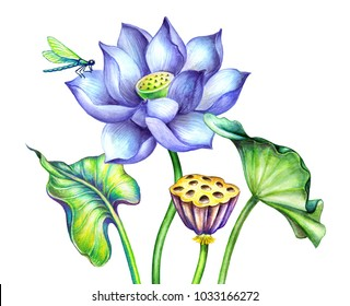 watercolor botanical illustration, blue lotos flowers, oriental garden nature, delicate water lillies, green leaves, chinoiserie elements, lotus, tropical floral clip art isolated on white background