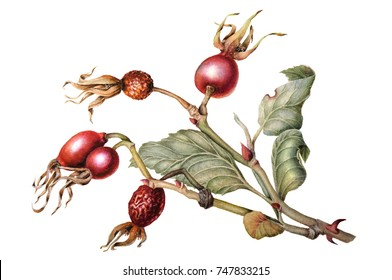 Watercolor Botanical illustration of a branch of rose hips isolated on a white background. Fruit. Rose.