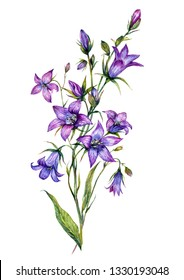 Watercolor Botanical Illustration of Campanula. Bluebell Flower Painting in Vintage Style Isolated on White Background. Purple Floral Decoration.