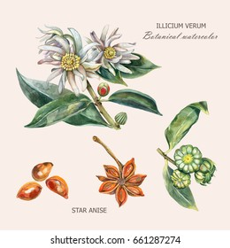 Watercolor botanical illustration of culinary and healing plant star anise (Illithium verum) with buds, flowers, fruits, leaves, seeds.