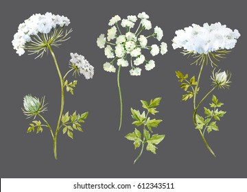 Watercolor botanical illustration of a flower queen anne's lace. Dark background